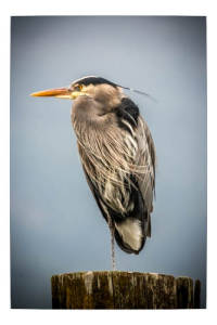11 - Blue Heron