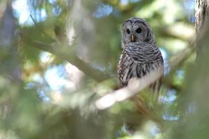 44 - Barred Owl