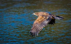 Steve Kazemir - Brackendale Eagle