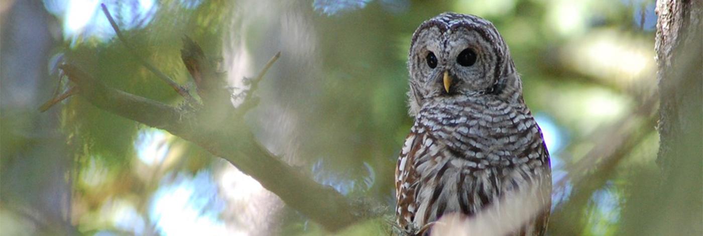 Barred Owl_Banner
